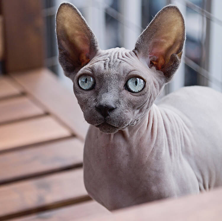 How do I care for my hairless cat?